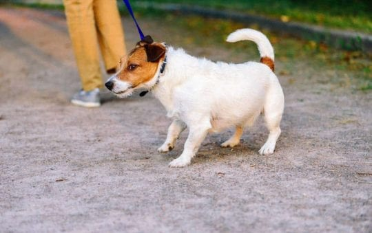 5 reasons your puppy doesn't want to walk